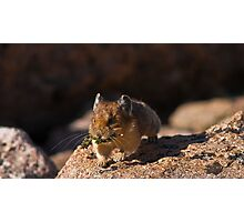 Pika In Action Photographic Print