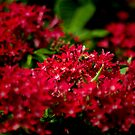 Field of Red by Vicki Pelham