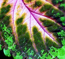 Nature's wonder - coleus by sstarlightss