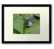 Young Painted Turtle on Lily Pads Framed Print