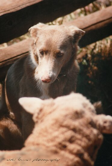 Sheep Yard Stand Off © Vicki Ferrari Photography by Vicki Ferrari