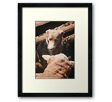 Sheep Yard Stand Off © Vicki Ferrari Photography Framed Print