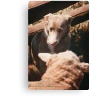 Sheep Yard Stand Off © Vicki Ferrari Photography Canvas Print