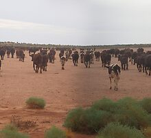 Cattle on a claypan by Kylie Fuller