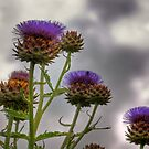Knapweed by Trevor Kersley