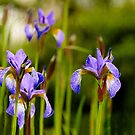Purple  irises  by LudaNayvelt
