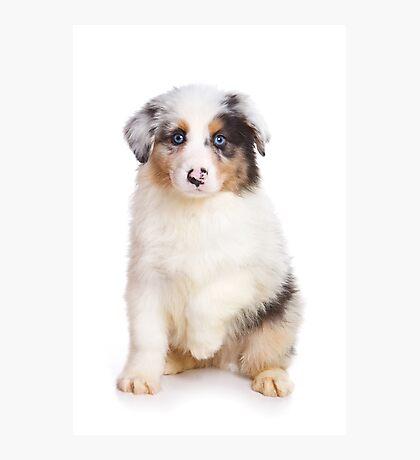 Cute Puppy Australian Shepherd Photographic Print