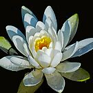 Water Lily (_Nymphaea_) by Bryan D. Spellman