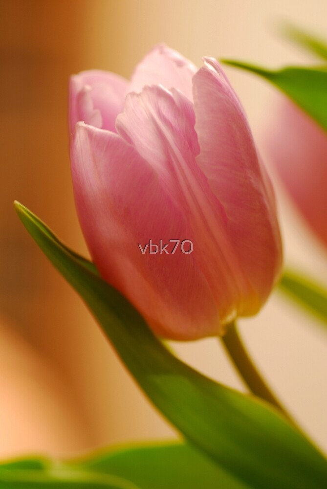 Gentle Tulip  by vbk70