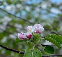 Wellwood's Spring Apple Blossoms - 3 by mmariephoto
