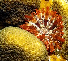 Rare Orange Tipped Corallimorph Anemone along the Coral Reef by Amy McDaniel