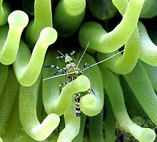 Spotted Cleaner Shrimp posing on Giant Green Sea Anemone by Amy McDaniel