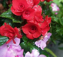 the red begonia by TudorSaxon