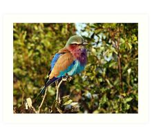 Winter Fluff - Lilac Breaster Roller, Okavango Delta Art Print