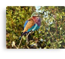 Winter Fluff - Lilac Breaster Roller, Okavango Delta Metal Print