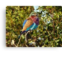 Winter Fluff - Lilac Breaster Roller, Okavango Delta Canvas Print