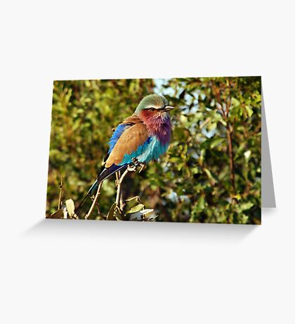 Winter Fluff - Lilac Breaster Roller, Okavango Delta Greeting Card