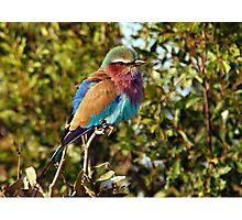 Winter Fluff - Lilac Breaster Roller, Okavango Delta Photographic Print