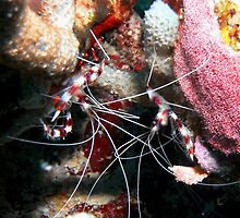 Banded Cleaner Shrimp on the Coral Reef by Amy McDaniel