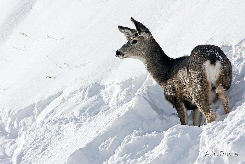Doe Pausing In Deep Snow by A.M. Ruttle