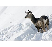 Doe Pausing In Deep Snow Photographic Print