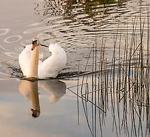 Reflection of a White Swan  by James  Key