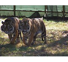 "'Magnificats"" Bengal Tigers, Dubbo Zoo Photographic Print"