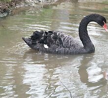 Black Swan by Bob Hardy