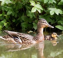 Female Mallard Swimming with Duckling by jboffinphoto
