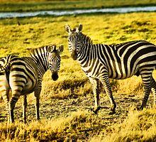 Zebras at Amboseli by Amy E. McCormick