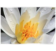 *WHITE FRAGRANT WATER LILY* Poster