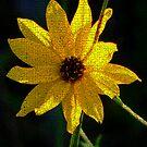 Yellow Sunflower by Rosalie Scanlon
