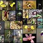 Native Orchids of South East Victoria I by Rosie Appleton