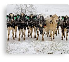 snow covered cows Canvas Print