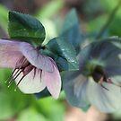 Hellabores in Spring by ElyseFradkin