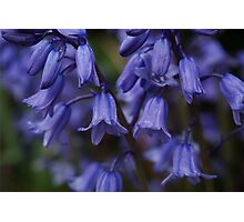 A gathering of bluebells Photographic Print