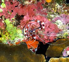 Banded Coral Shrimp on Colorful Coral by Amy McDaniel