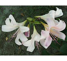 Resurrection Lily Photographic Print