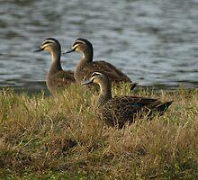 Three Little Ducks by Jon Staniland