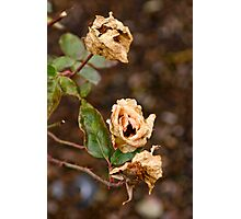 Faded Rose Photographic Print