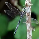Canada Darner Resting On Shrub Stem by Wolf Read