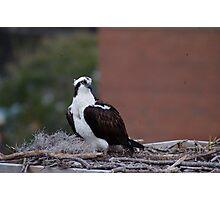 Osprey Photographic Print