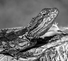 Black and White Baby Bearded Dragon by JLOPhotography