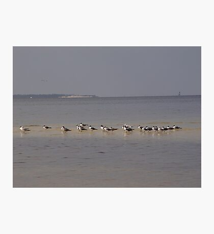 Terns on Sandbar Photographic Print