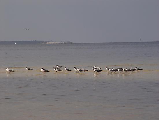Terns on Sandbar by May Lattanzio