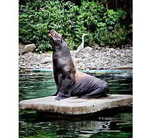 seaLION KING .. Photographic Print