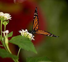 Monarch Butterfly by JEOtterbacher
