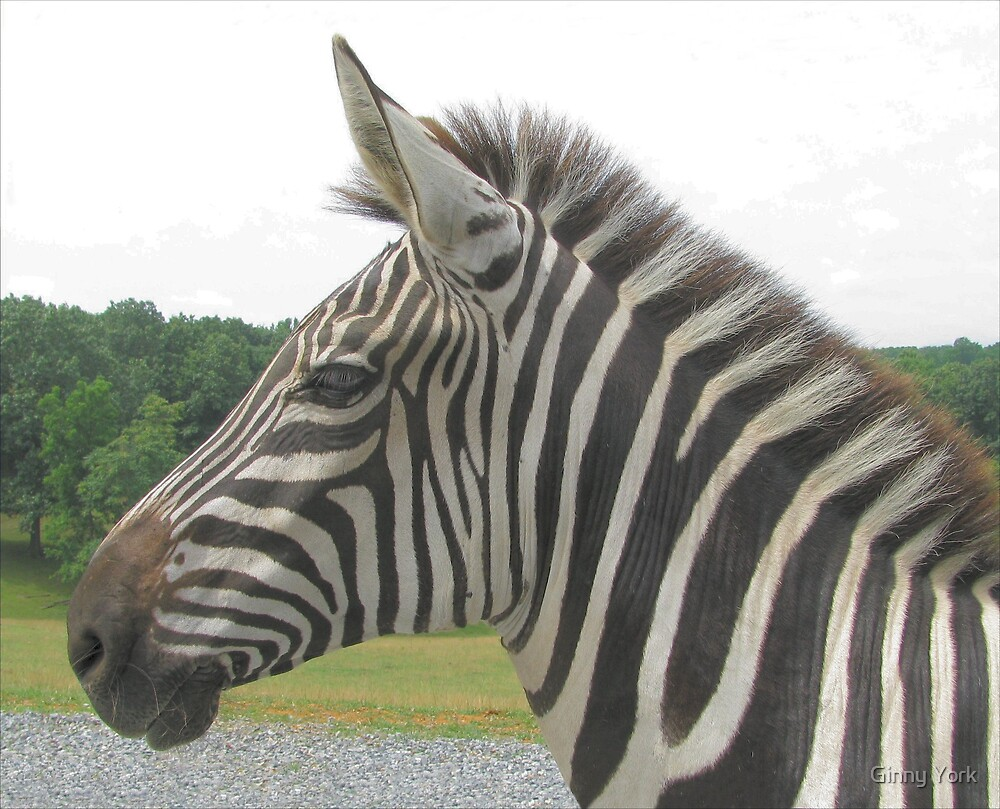 Zebra Profile by Ginny York