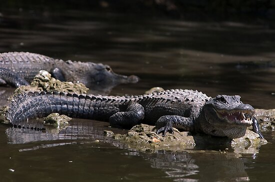 Alligator sunbathing by Larry  Grayam