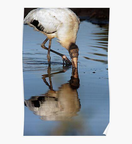 Wood stork reflection Poster